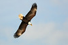 Eagles at Conowingo Dam :