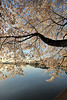 Washington DC Cherry Blossoms, April 2010 :