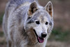 The Wolf Sanctuary of PA :
